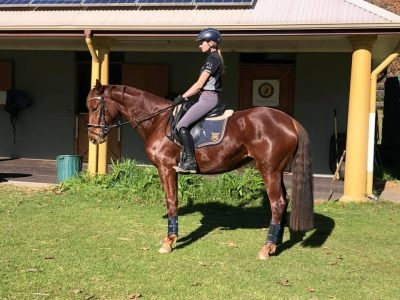Bardot - Stunning well bred Performance mare for sale!