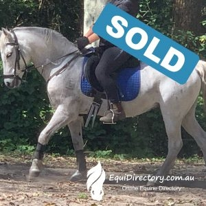 SOLD - Grey Pony Part Welsh Gelding Kids Pony