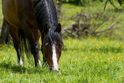 TWO types of Oxalates = 2 Serious Veterinary Clinical Problems for Horses